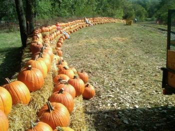 The pumpkin patch is ready for visitors.